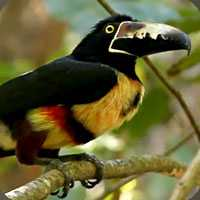 aracari-toucan-birdwatching