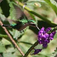 costa-rica-hummingbird