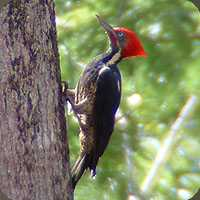 lineated-woodpecker-birdwatching