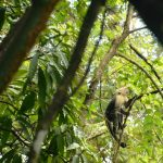 white faced monkey at anamaya