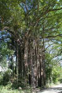 Costa Rica banyan tree