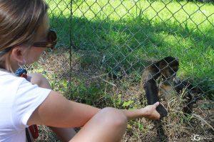 Spider Monkey Reintroduction Program at Curu