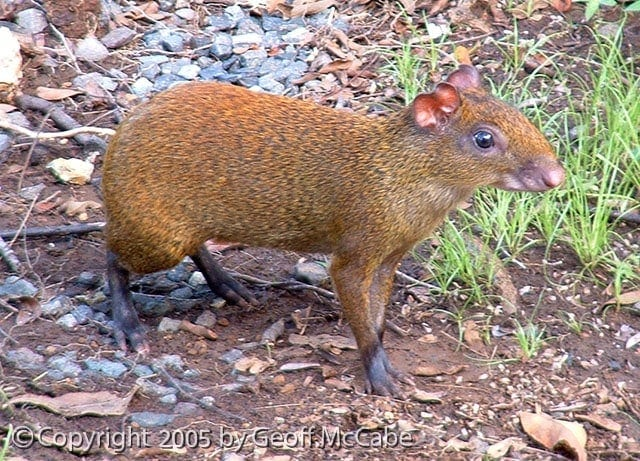 Agouti at Anamaya Resort