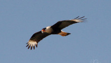 Caracara - Birds of Costa Rica