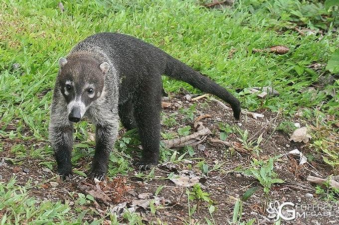 Coati Costa Rica - Pizote