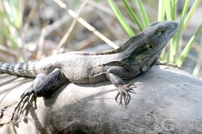 Ctenasaur / Iguana of Costa Rica