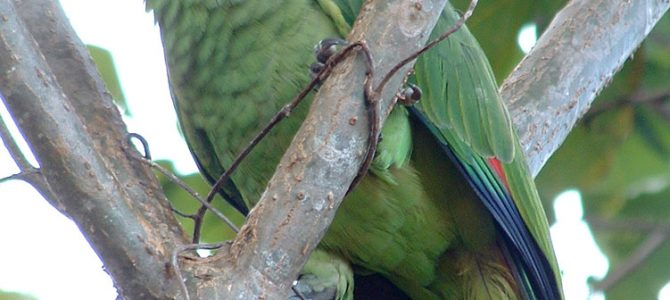 Red Lored Parrot