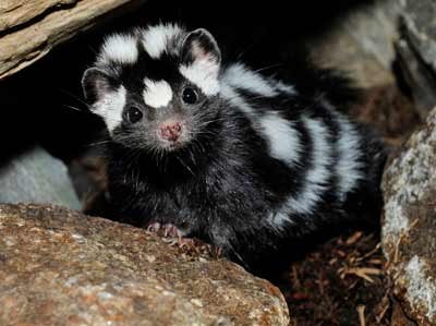 Spotted Skunks - Costa Rica's Noctuturnal Mammals