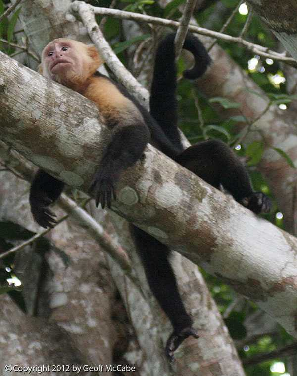 White Face Monkey Hanging Out