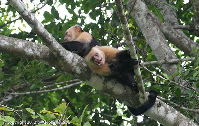 White Faced Capuchin Monkeys in Costa Rica