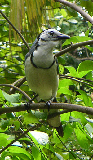 White-throated magpie jay of Costa Rica