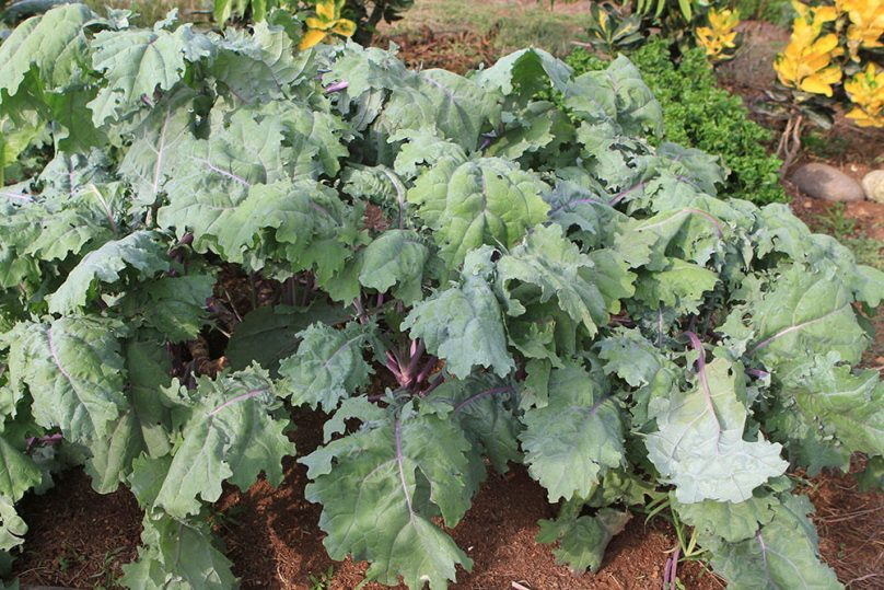 Costa Rica Superfoods - Kale