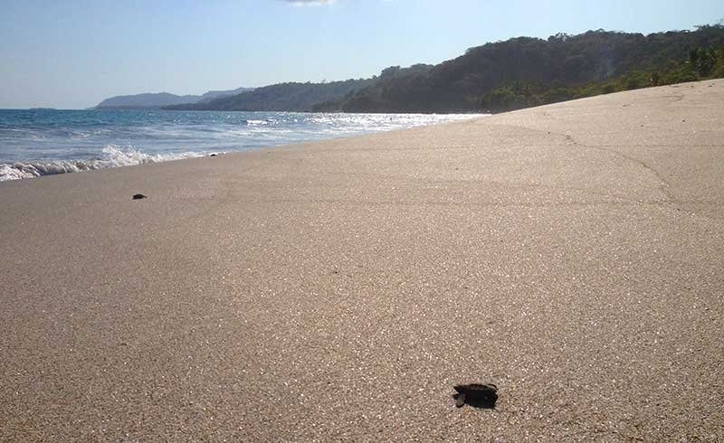 Baby Turtles Hatching On Montezuma Beach
